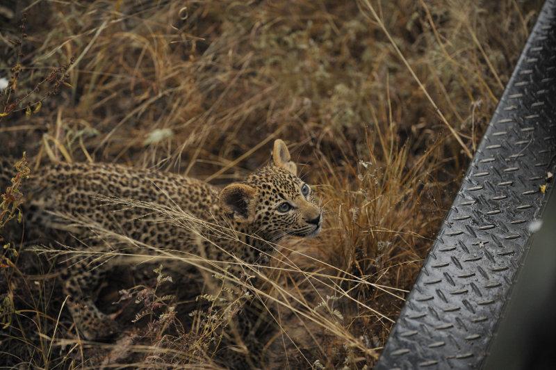 Close Leopard.jpg