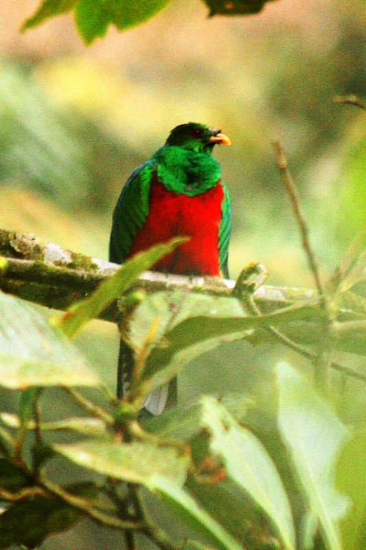 Crested Quetzal male
