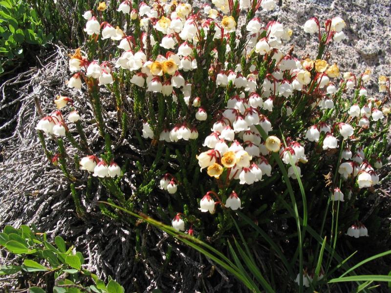 White heather (Cassiope mertensiana)