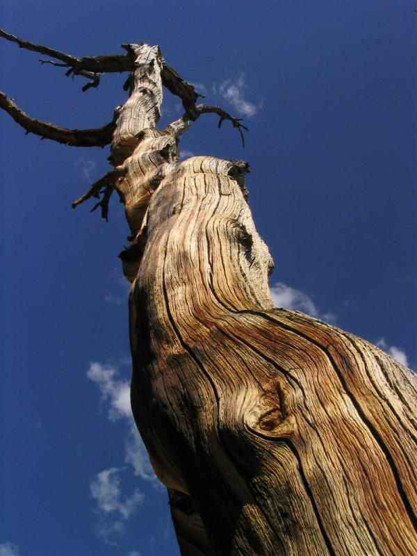 Whitebark pine snag at Virginia Lake