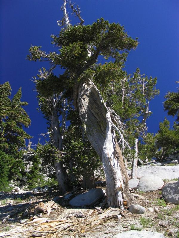 An ancient twisted Foxtail pine on the shoulder of Thompson Peak