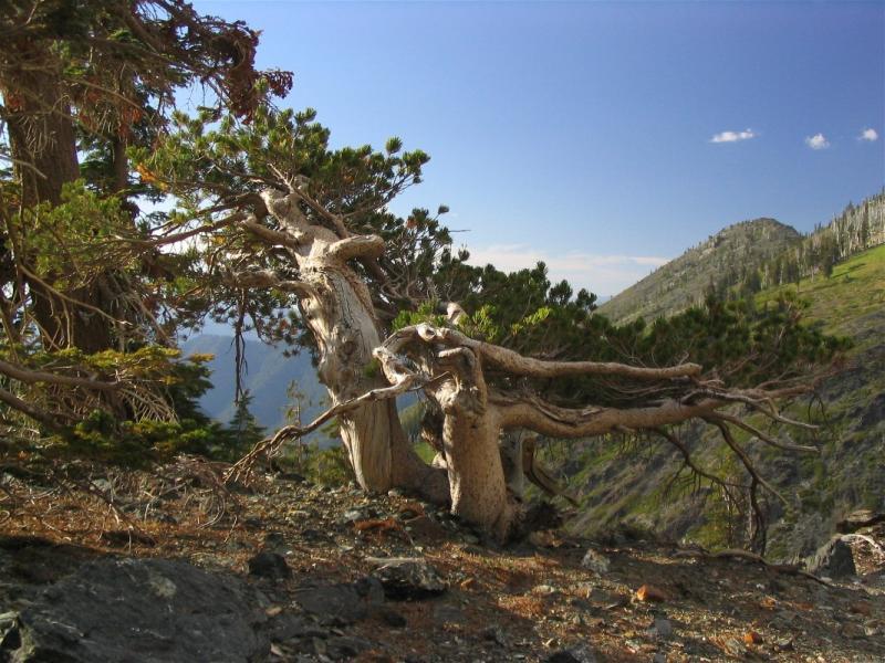 Wind blown whitebark pine on the rim of Papoose lake