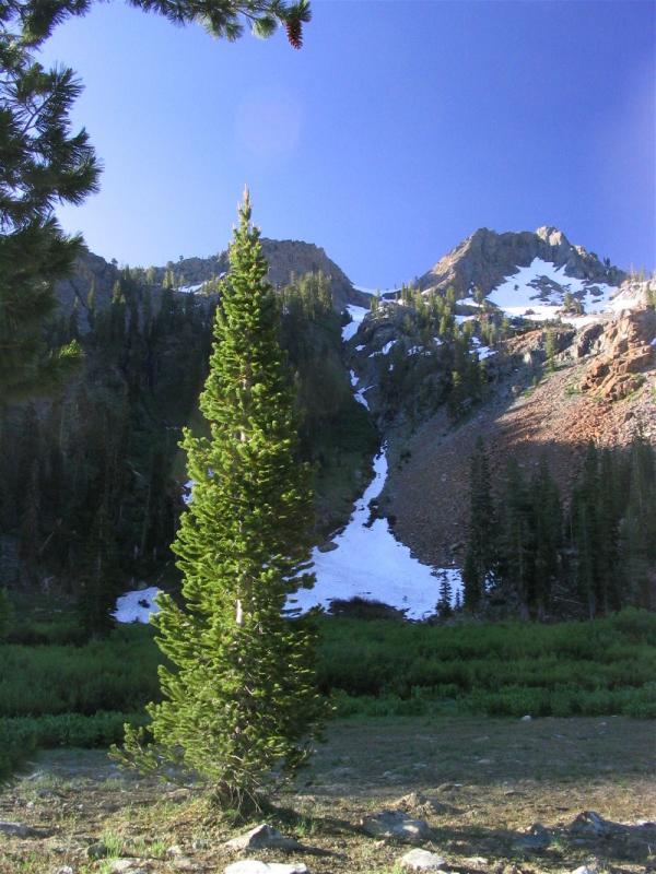 Foxtail pine in Bear Creek valley