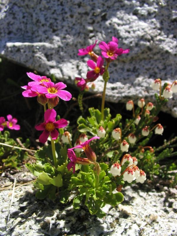 Sierra primrose and Cassiope