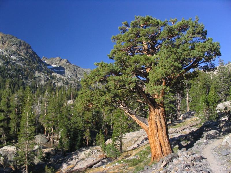 Mountain juniper in Ansel Adams wilderness
