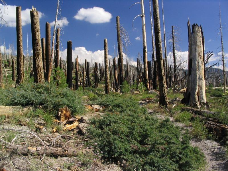 Burned forest near Devils Postpile