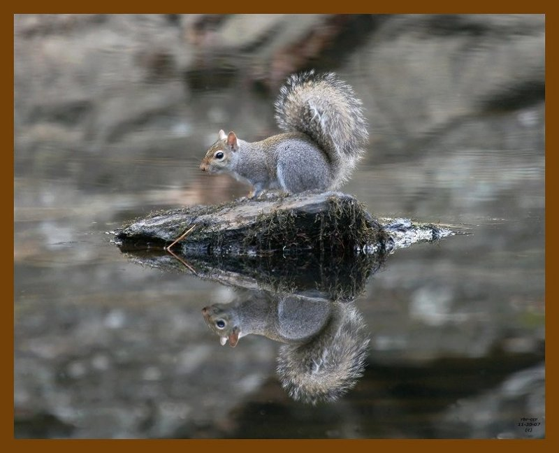 gray-squirrel 11-30-07 4c76b.jpg
