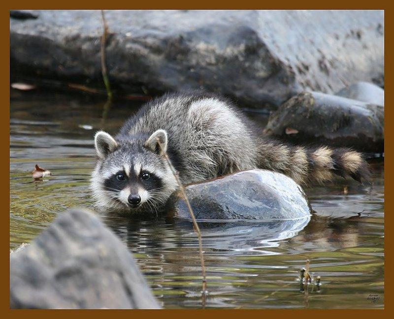 raccoon 11-19-07 4c66b.jpg
