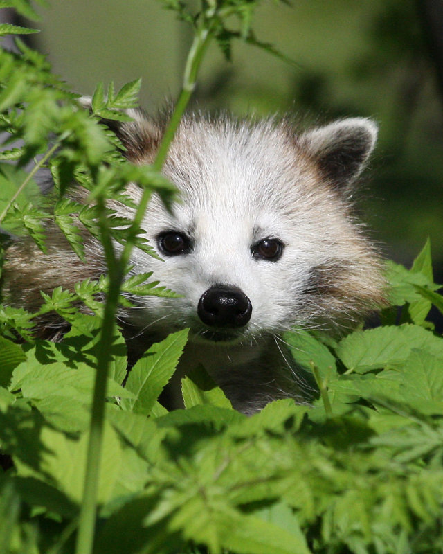 Close-up of maskless raccoon