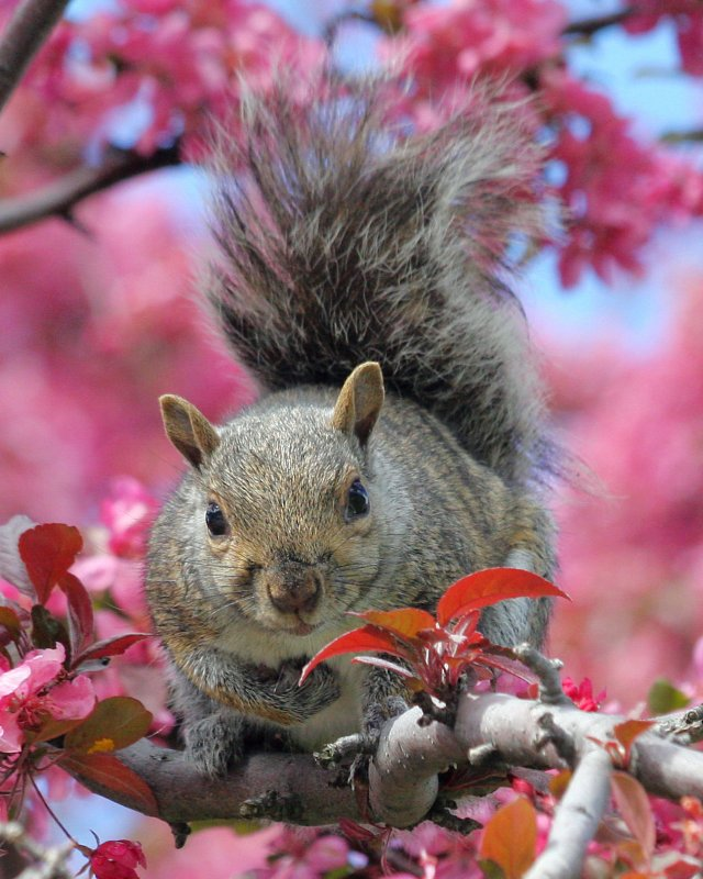 Squirrel in apple blossoms