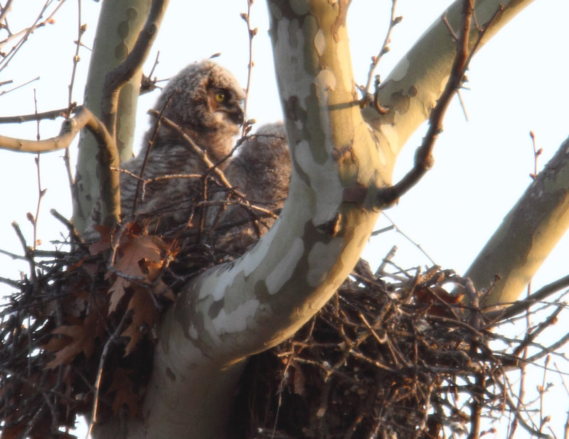 Great Horned Owl_im 03