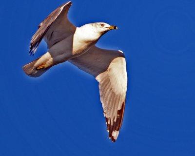 Obligatory Sea Gull.jpg