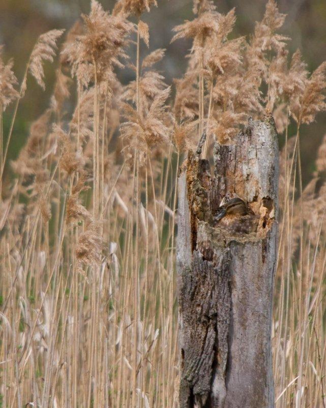 Nesting in a log - Mallard