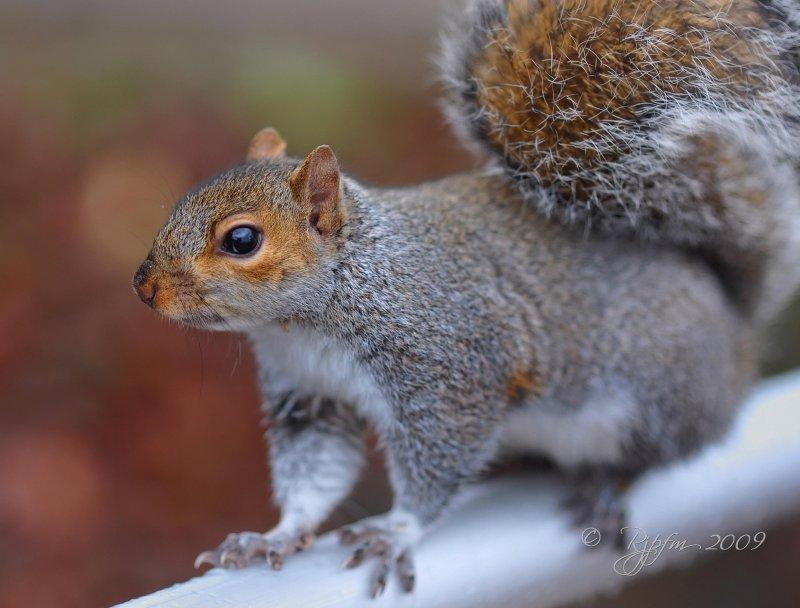 The Mall  Eastern Gray Squirrel Washington DC