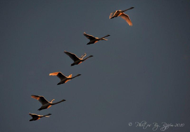 Tundra Swan & Sunset Blackwater NWR, Md