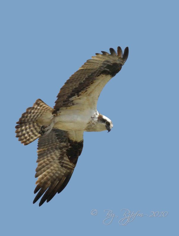 Osprey Occoquan NWR Va