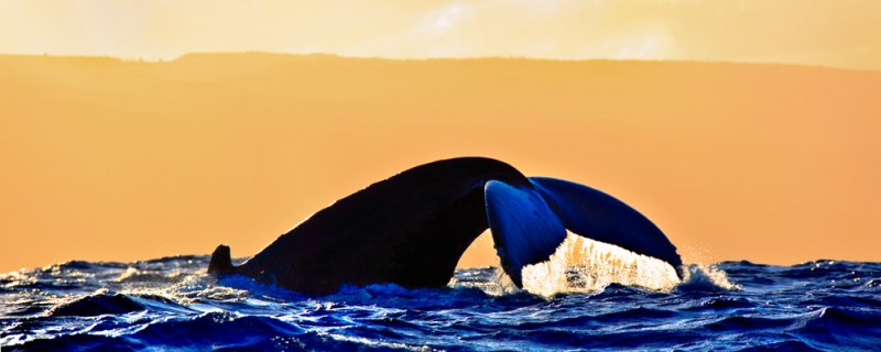 Humpback Whale - Pacific Gold