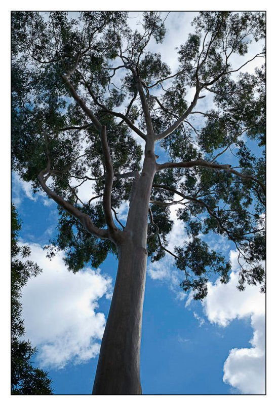 Tall Eucalypt with 24mm