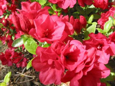 Hersheys Red