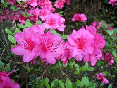 Garden State Pink