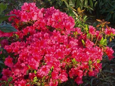 Girards Pink Dawn