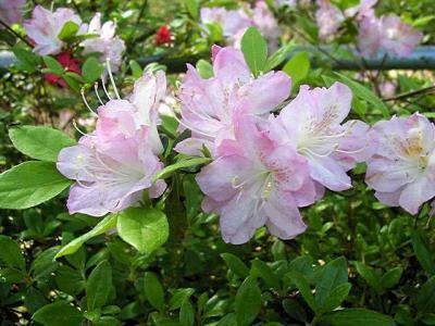 Osaraku Seedling