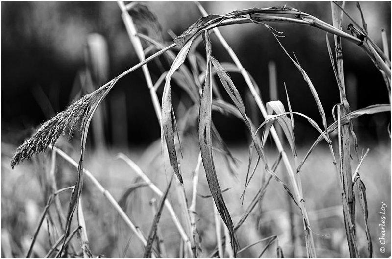 Johnsons Grass