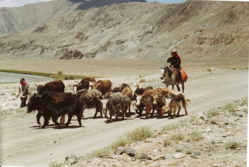 Pamir plateau. Kyrgyz herdsmen leading their yaks