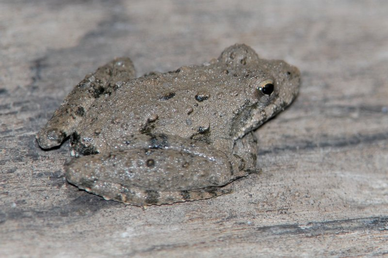 Blanchards Cricket Frog ?