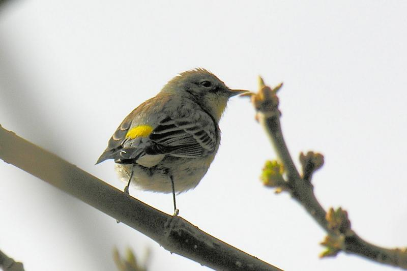 Yellow-rumped Warbler at residence on Point Loma -->>