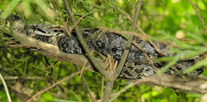 Snake in cedar tree