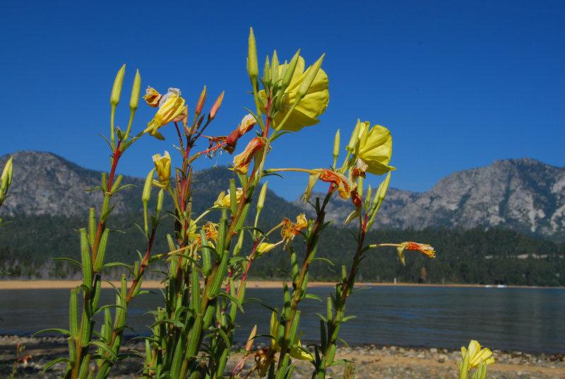 Tahoe Flora1.JPG
