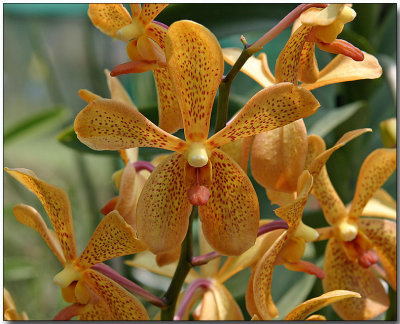 Orchid 47