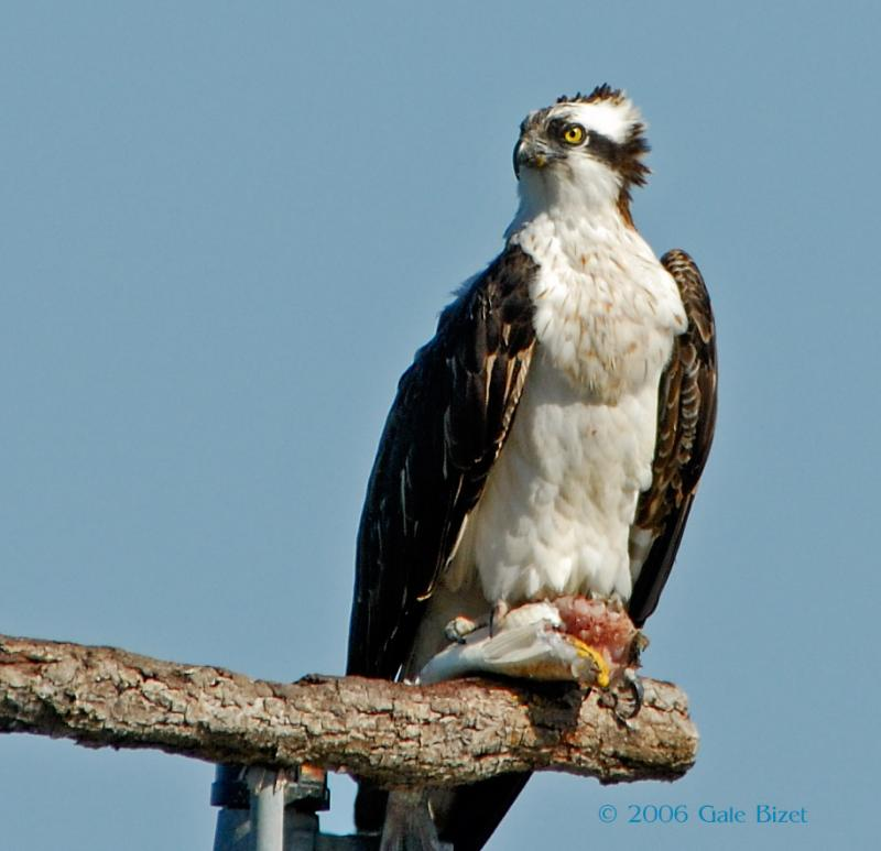 Osprey 7.jpg