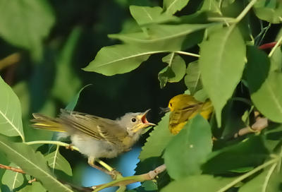 Yellow Warbler - Feed Me!