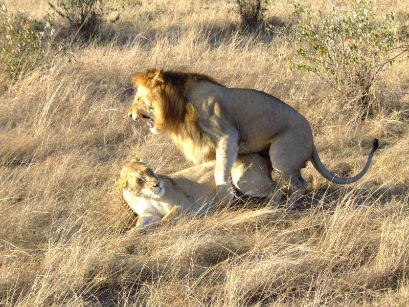 Lion Style