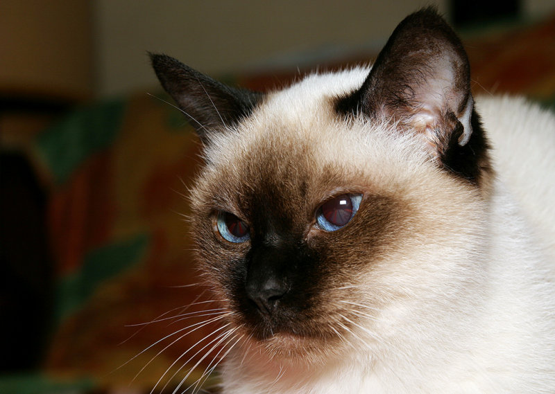 Siamese Cat Candy