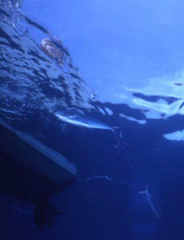 Hooked mahi below our boat