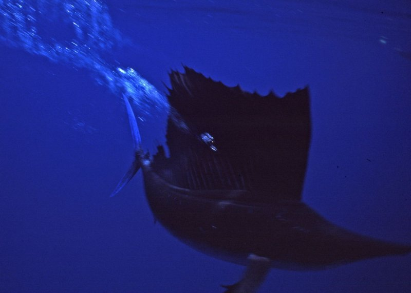 Sailfish as it misses me by inches--phew!
