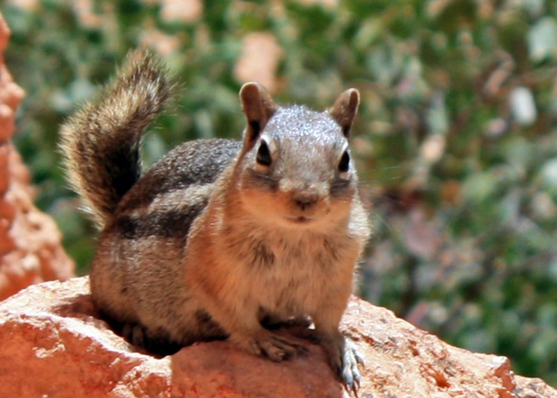 Chipmunk--open a snack and one will find you