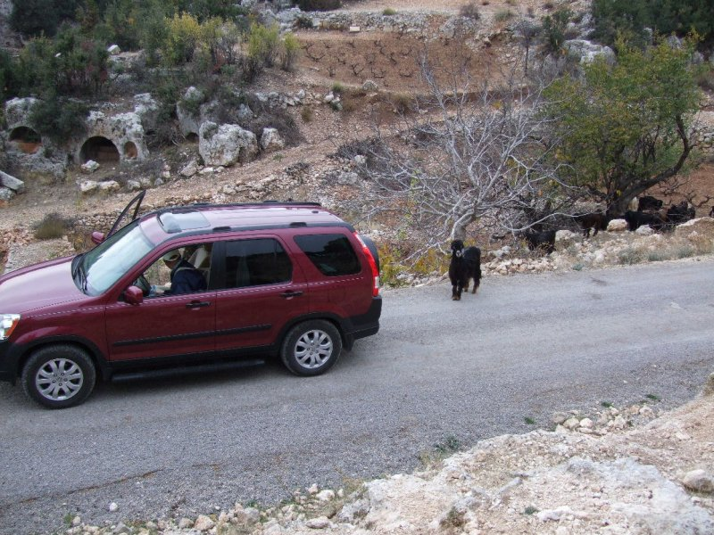 I think this goat was ready to butt our car out of its way, until the goat girl called it back.