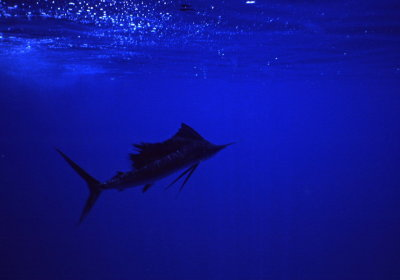 The sailfish as it circles me