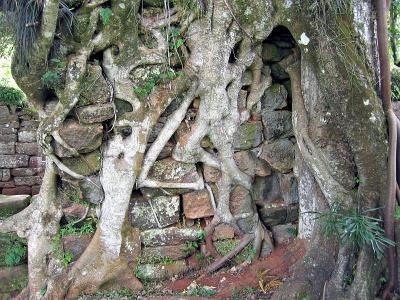 Tree v wall, San Ignacio
