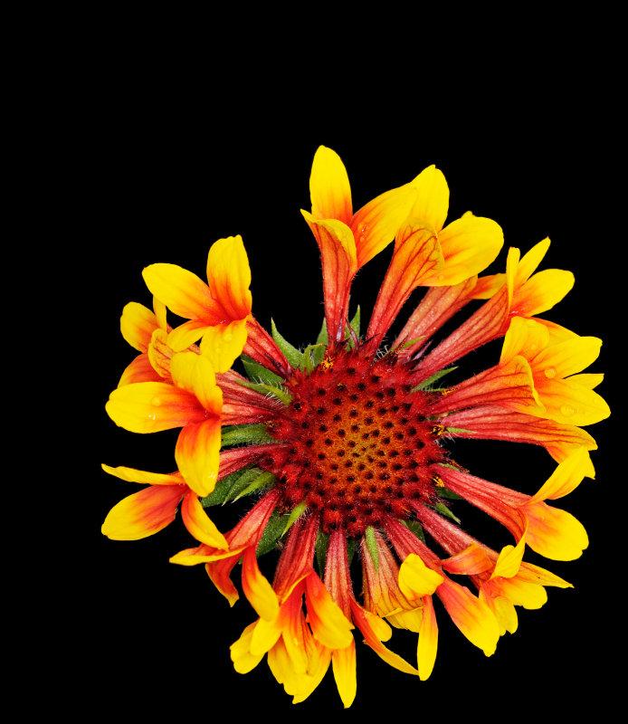 gaillardia Indian Blanket Flower 03