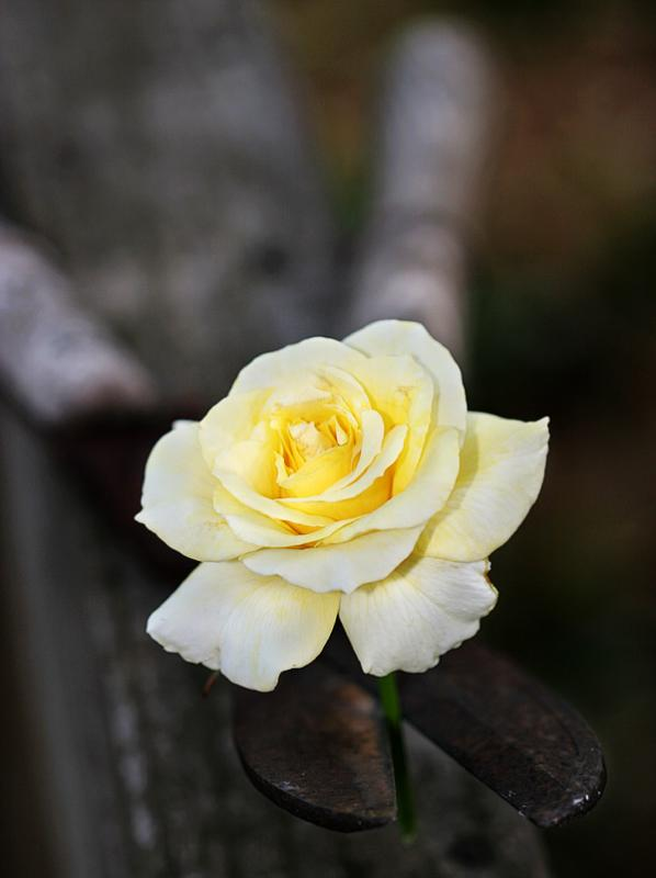 rosecut1.jpg