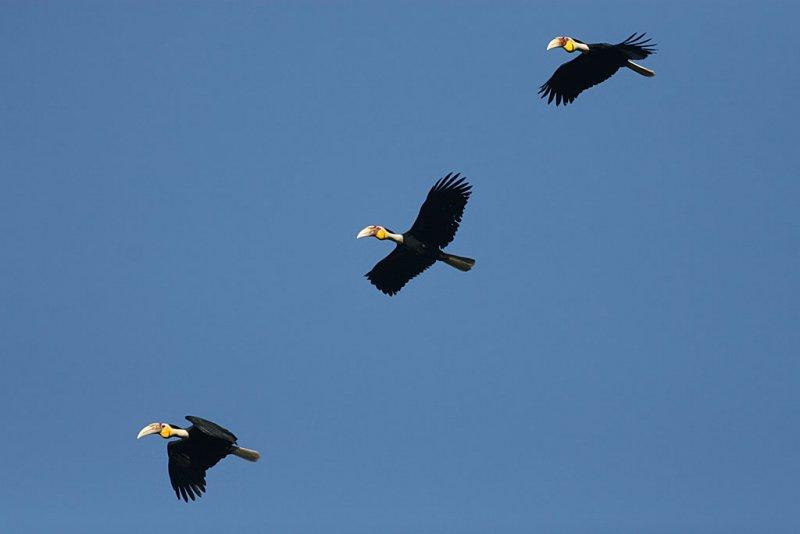 Wreathed Hornbills