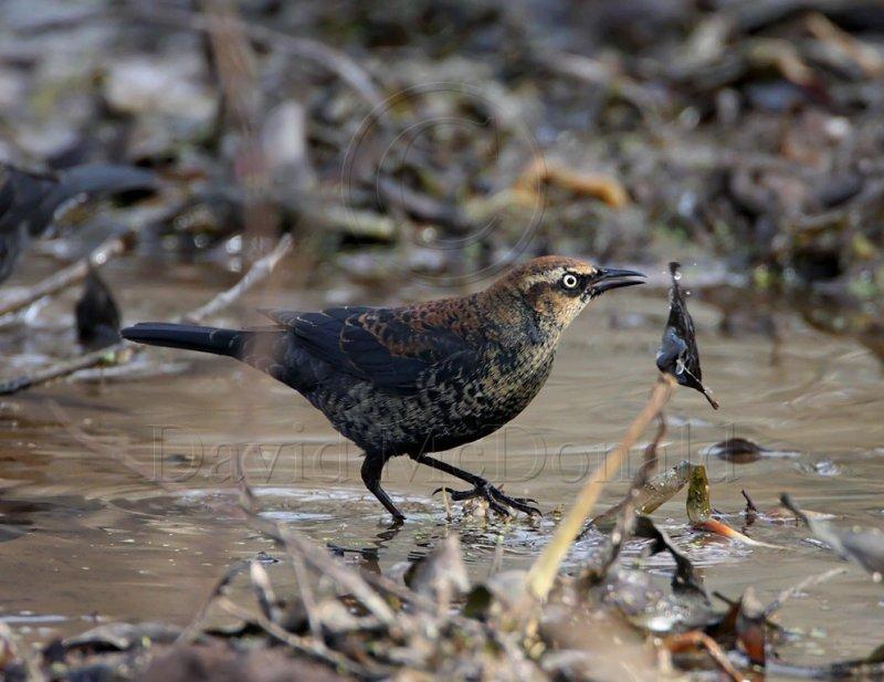 Rusty Blackbird - male - 1st winter_3618.jpg