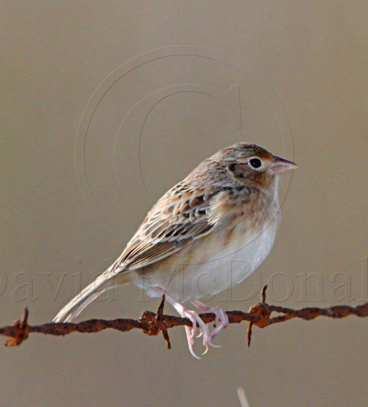 Grasshopper Sparrow_6429.jpg