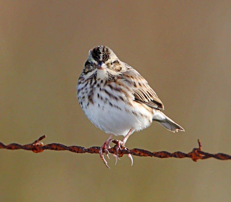Savannah Sparrow_6399.jpg