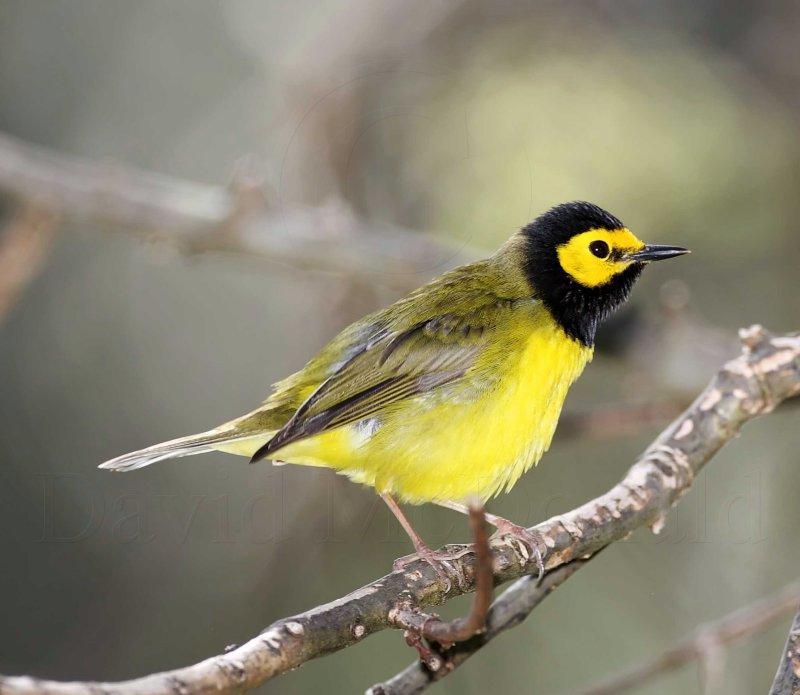 Hooded Warbler - male_8698.jpg